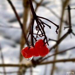 winter snow meltdown berries cold