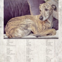 banracng adoptdontshop greyhounds lurchers sighthounds