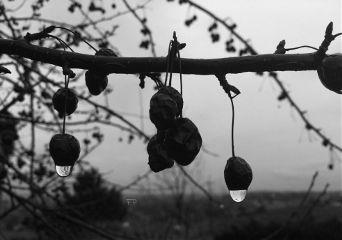 rain tree crabapple raindrop nature